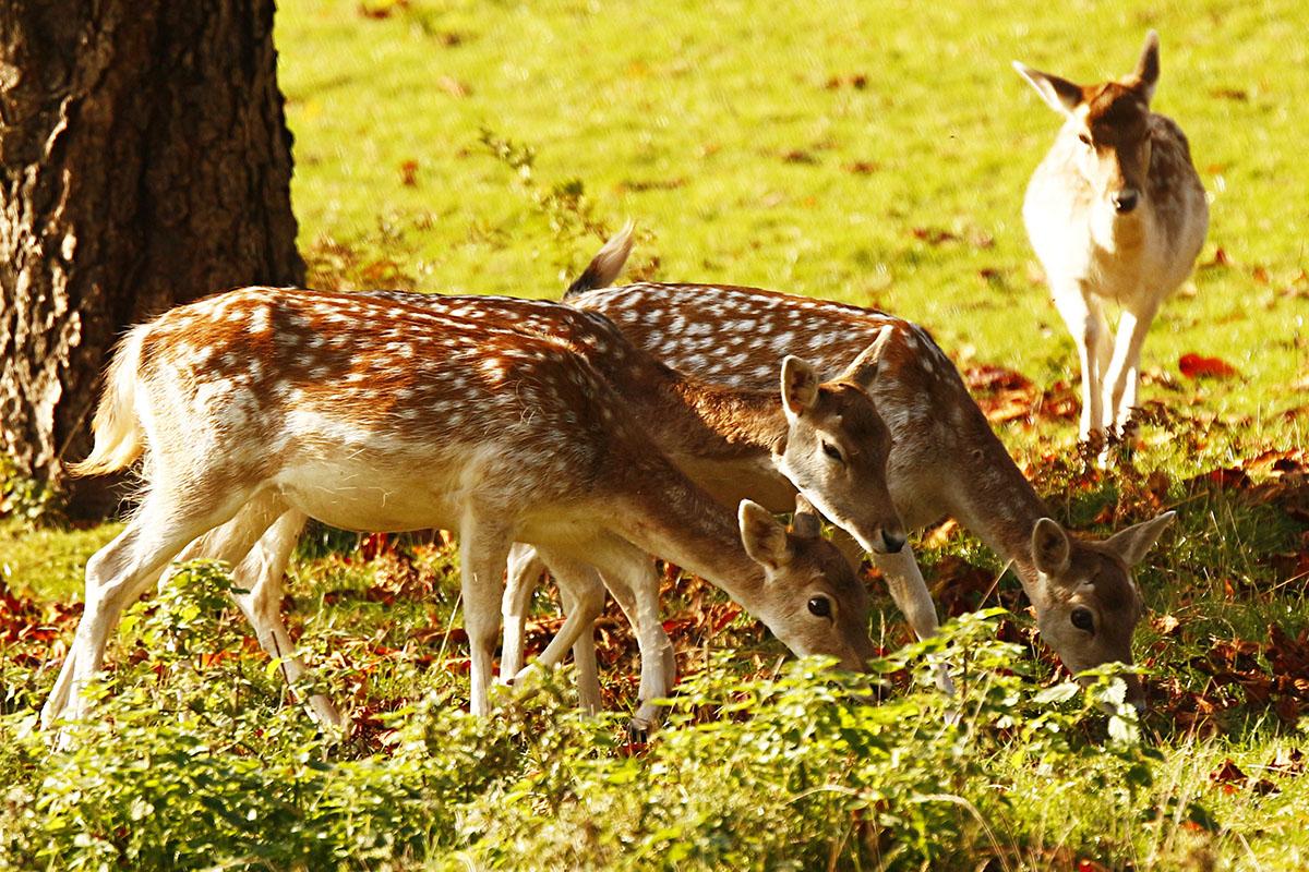 Deer at Ashton Court