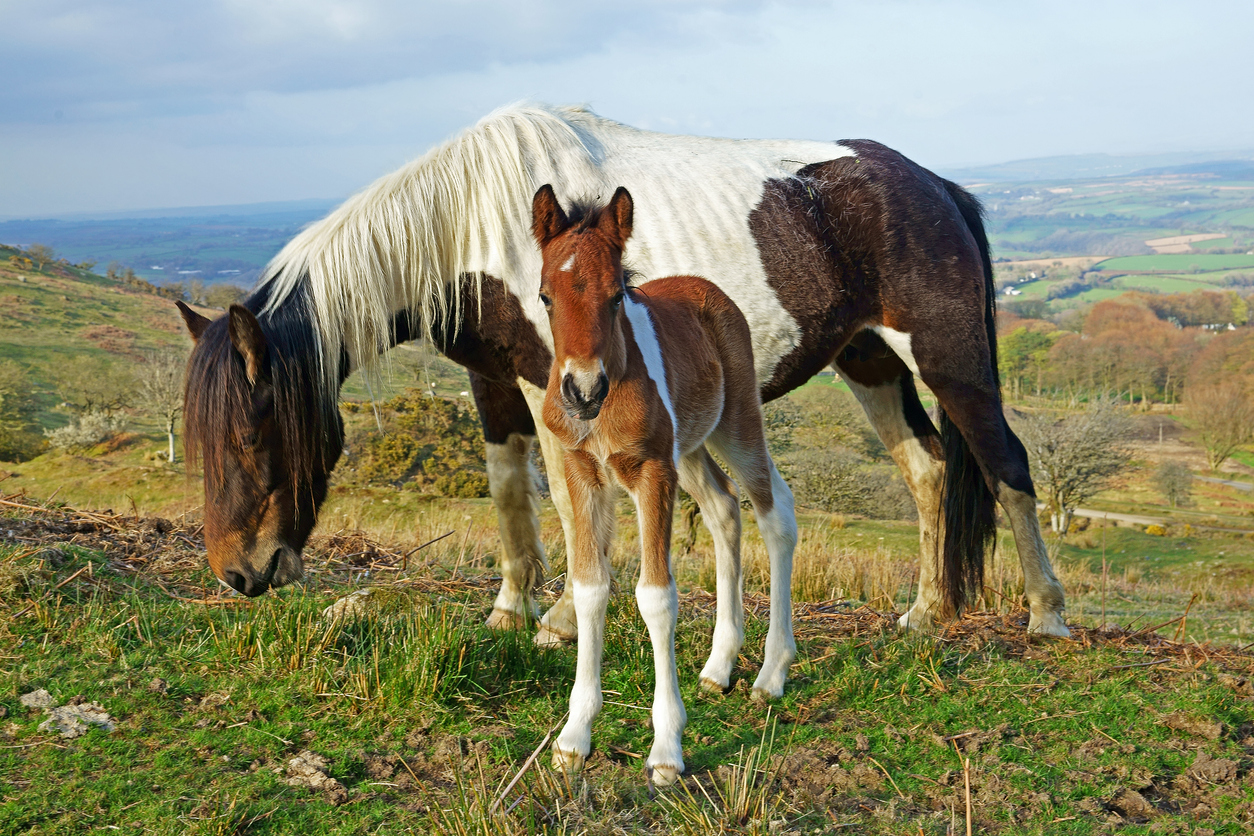 Chestnut pony and foal, Bodmin Moor, Cornwall, UK