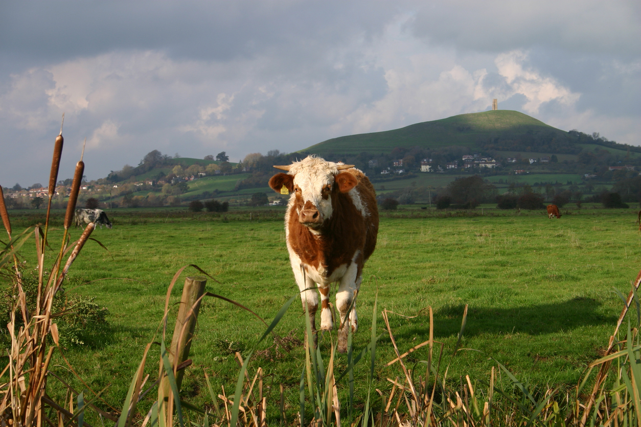 A Bull with a Tor in the background, Glastonbury, Somerset, South West England