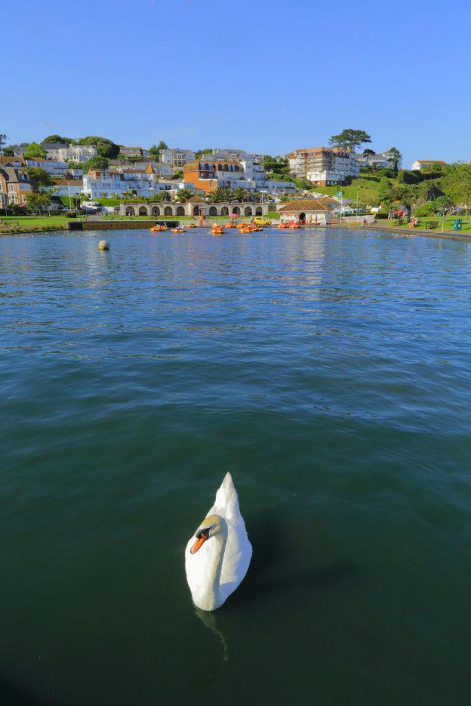 Swan floating on the lake in coastal town of Paignton, Devon