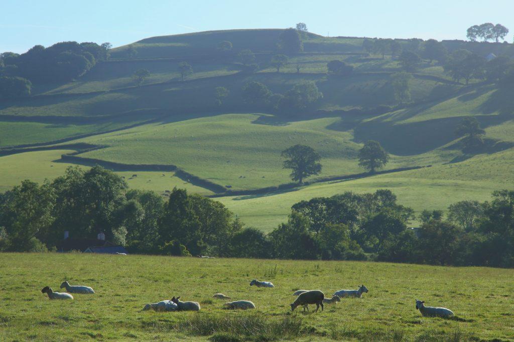 Flock of sheep graze on a farmland in Blackdown Hills, Devon