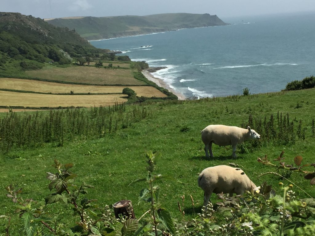 Two Sheep Grazing on the Mountain along the seaside village of East Prawle, England.