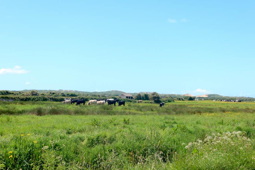 Cows in field near Braunton