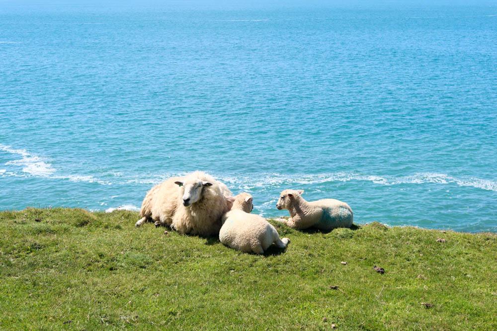 Sheep sunbathing near Woolacombe by the coast