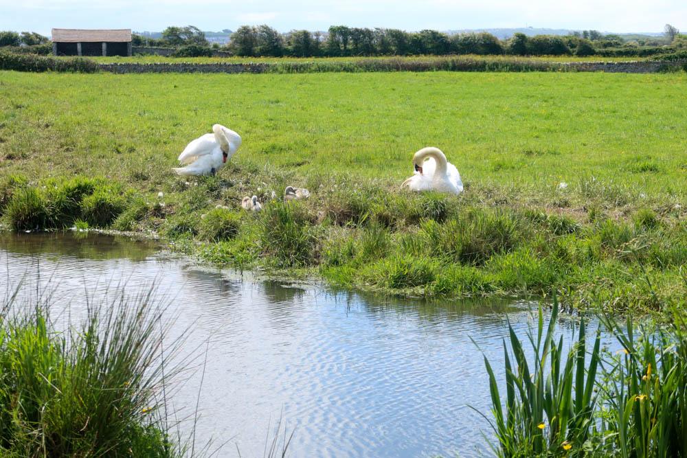 Swans in North Devon Countryside ner Braunton