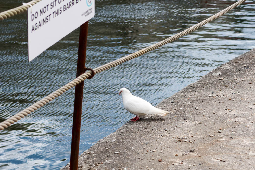 Doves in Charlestown