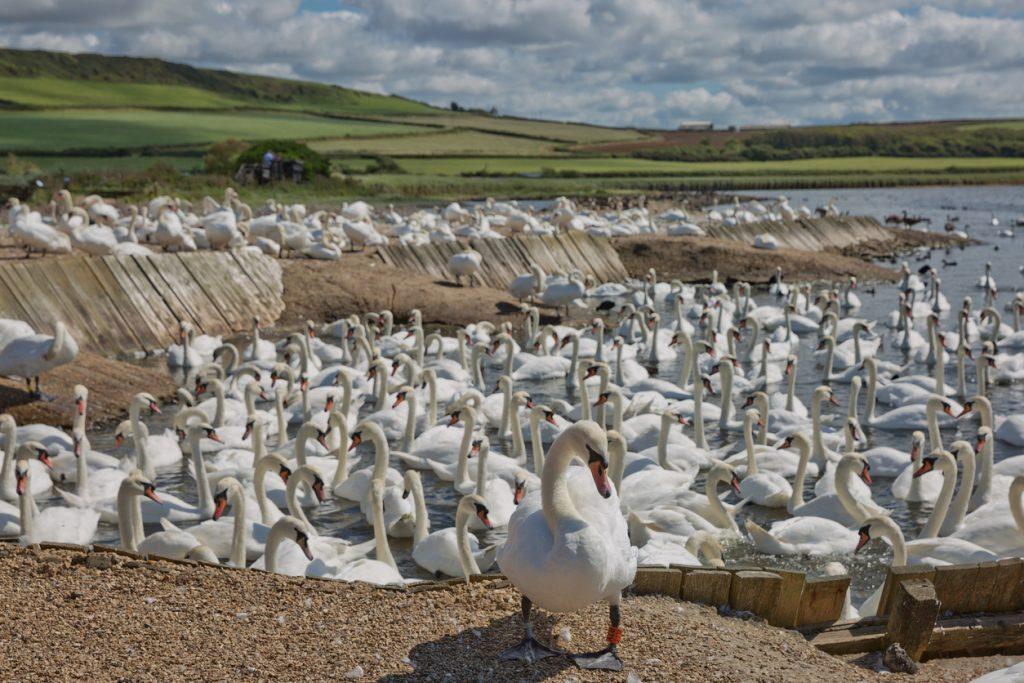 DORSET, ABBOTSBURY, UK - AUGUST 15, 2017: Flock of swans during feeding time at Abbotsbury swannery in Dorset, United Kingdom.